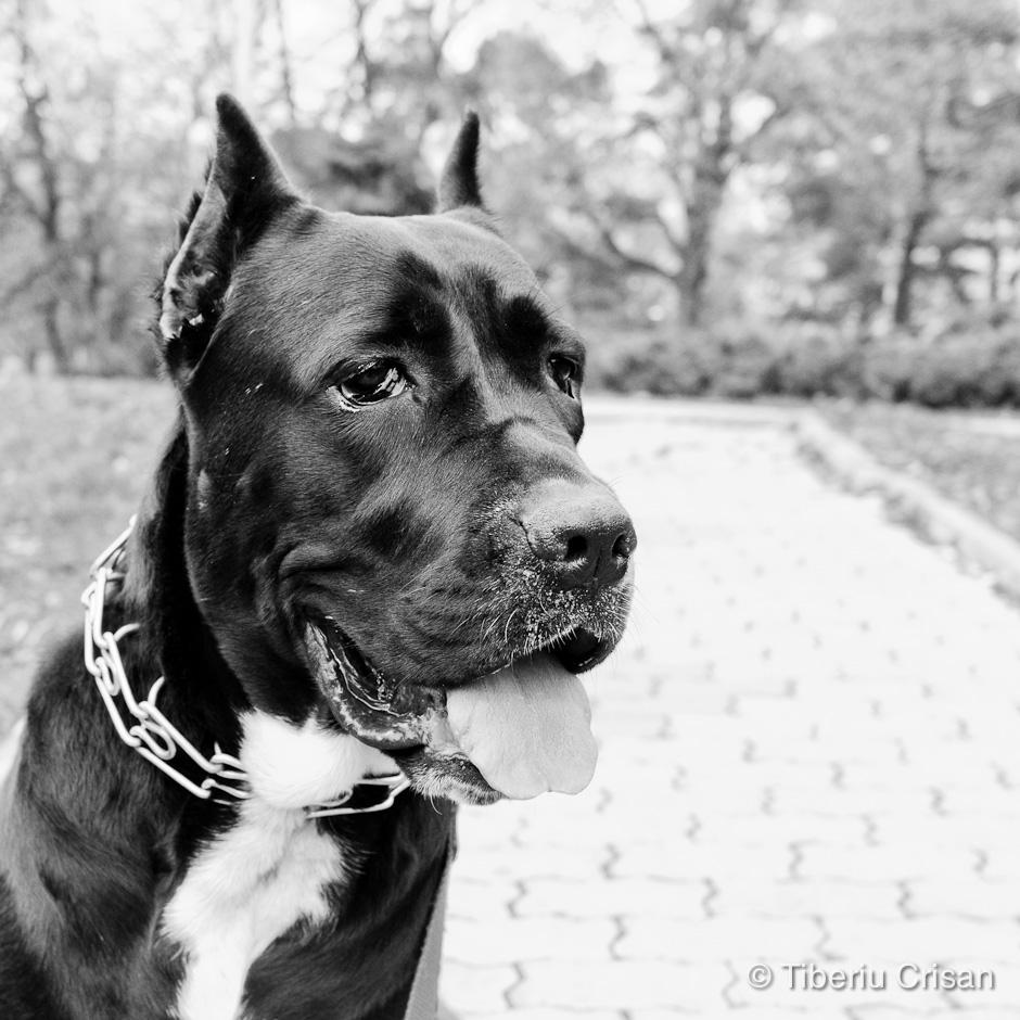 Masha - cane corso la un an si jumatate